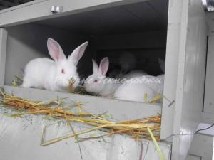 Утримання молодняка кроликів