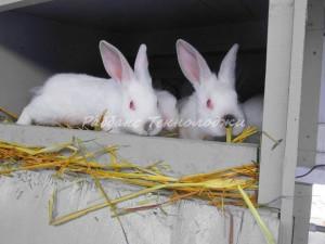 Племенная работа в кролиководстве