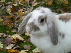 Чесотка у кроликов