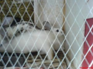 Отсадка  молодняка кроликов  в кролиководстве