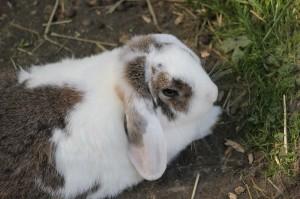 Стригущий лишай у кроликов