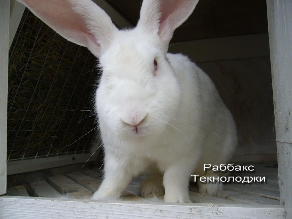уши кролика