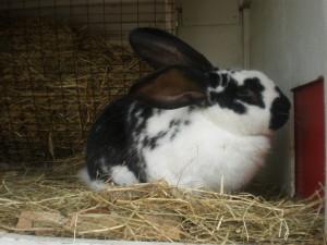 Некробацилёз кроликов, болезник кроликов